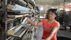 Làm giàu ở nông thôn: Nuôi chim cút, đút túi 2 triệu đồng/ngày