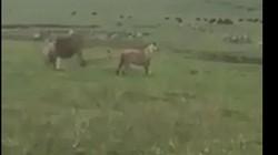 Chó con dọa sư tử khiếp vía bỏ chạy