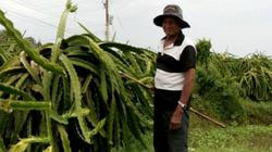Lão nông U70, 20 năm một mình vẫn cặm cụi làm thanh long VietGAP