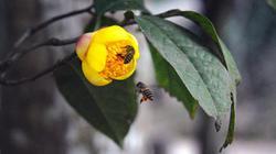 Chiêm ngưỡng vẻ đẹp rực rỡ của 170 cây trà hoa vàng rộ hoa chính vụ