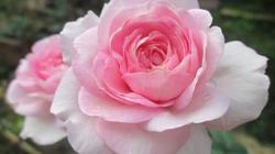 Thú chơi hoa hồng ngoại ở phố: Giá rẻ, mà dễ chăm sóc