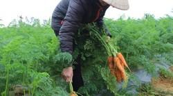 Trồng cà rốt Nhật phủ nilon cho thu nhập 15 triệu/sào