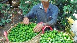 Cầu kỳ trồng chanh xuất khẩu sang Hàn Quốc, lãi cao lại không lo ế