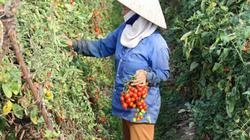 Cà chua, bí xanh cho năng suất cao nhờ bí quyết bón phân Lâm Thao
