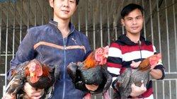 """Nông dân ém đặc sản lợn rừng, gà Đông Tảo chờ """"bung lụa"""" dịp Tết"""