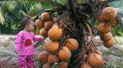Mê tít với vườn dừa trái sai sát đất, trẻ con cũng hái được