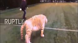 Video: Kinh ngạc cảnh hổ trắng 2 tạ chơi bóng cùng 2 người đàn ông