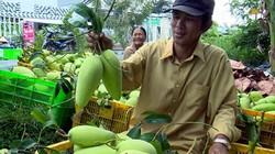 Chỉ 1 vụ xoài Tết, nông dân lãi tới 120 triệu đồng