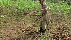 """""""Khát"""" hom sắn giống, nông dân Phú Yên đi mót sắn bờ bụi đem trồng"""