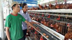 Nuôi 2.000 gà siêu trứng, 10 con bò, doanh thu 1,5 tỷ/năm