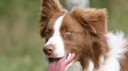 Giống chó khôn nhất hành tinh và những đặc tính đáng ngưỡng mộ