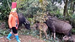 Lạnh thấu xương, xót xa khi có tới hơn 2.160 con trâu bò chết rét