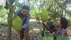 Trồng 800 cây mít Changai, tết Mậu Tuất đạt 500 tấn, thu tiền tỷ