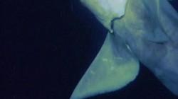 """Lần đầu quay được cá mập ma có """"mắt thần"""" nhìn xuyên màn đêm"""