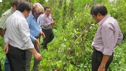 """Dân trồng tiêu Phú Yên mất """"nửa túi tiền"""" vì tiêu ngã đổ, chết yểu"""