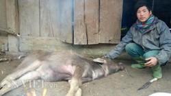 Lai Châu: Đẫm nước mắt nhìn cảnh trâu, nghé gục chết ngay cửa nhà