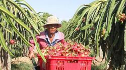 Giá thanh long Bình Thuận tăng vọt: Thương lái Trung Quốc đẩy giá
