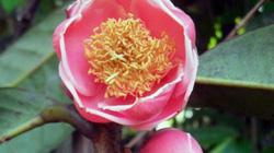 Lần đầu tiên tìm thấy cây trà hoa đỏ cực quý hiếm tại Yók Đôn