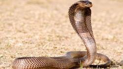 Nam Phi: Một hổ mang chúa khiến 60 người sống dở chết dở