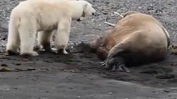 Trêu hải mã đang ngủ, gấu Bắc cực giật mình bỏ chạy