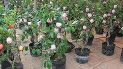 HOT: 3 triệu đồng một cây táo cảnh trưng Tết