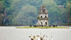 Thiên nga vừa thả ở Hồ Gươm đã lo bị bắt trộm