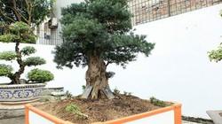 Chiêm ngưỡng cây tùng cổ, được cho là 400 năm tuổi, đắt ngang siêu xe