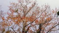 Trốn giá lạnh về Hải Dương ngắm rừng phong lá đỏ ấm rực cả bầu trời