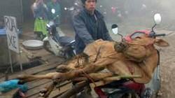 Rét đậm kéo dài, trâu bò chết la liệt ở Tây Bắc