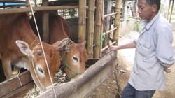 Thảm cảnh trâu, bò chết rét hàng loạt ở Tây Bắc: Hệ lụy từ sự thờ ơ