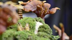 Nấm linh chi bonsai hút khách Thủ đô ngày giáp Tết Nguyên đán