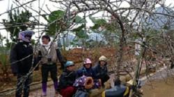 Đào rừng chơi Tết: Giá cao nhất 40 triệu đồng, ùn ùn về xuôi