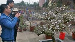 CLIP: Sửng sốt xem mai cổ rêu phong giá trăm triệu ở chợ hoa Cố đô