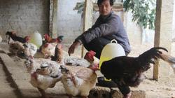 Đã mắt với trang trại gà Đông Tảo quý hiếm, chân to vật