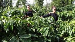 Hạt cà phê Organic đã được sản xuất như thế nào trên đất Tây Nguyên?