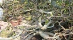 Ninh Thuận: Ngày nắng nóng, đêm lạnh…chủ vườn mai lo sốt vó