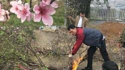 """Chưa đến Tết, làng đào """"5 cánh"""" đã... cháy hàng, nông dân ăn Tết ấm"""