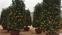 """Sơn La: Quất bonsai """"khổng lồ"""" được khách ưa chuộng"""