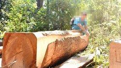 """Lợi dụng giáp Tết, lâm tặc lên rừng xẻ gỗ """"khủng"""""""