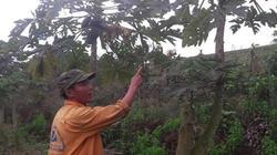 """Bất chấp thời tiết bất lợi vẫn cho 400 cây đu đủ """"đẻ"""" quanh năm"""