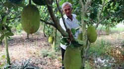 Chán khóm, trồng 1,2ha mít Thái siêu sớm, lãi ròng hơn nửa tỷ