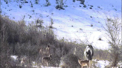 Ngựa thản nhiên đi vào giữa bầy sói, nằm ngửa ra như... mời ăn thịt