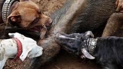 Đột nhập nơi tổ chức chó pitbull tử chiến lợn rừng đẫm máu ở Indonesia