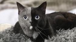 """Tan chảy trái tim với chú mèo """"2 mặt"""" siêu đáng yêu"""