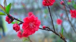 Lạng Sơn: Trồng mới hơn 800 gốc đào hưởng ứng Tết trồng cây