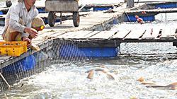 Đầu năm giá cá đặc sản, hàu nuôi lồng tăng vọt, dân mừng rơn