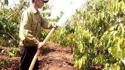 Chưa đến mùa khô, dân trồng cà phê ồ ạt chặn suối lấy nước lo hạn