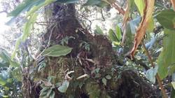 """Clip: Rừng cổ thụ nguyên sinh độ cao 2.000m bị thảo quả """"xâm lược"""""""