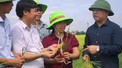 """Giống lúa """"hào khí Đông A"""" được công nhận giống quốc gia"""
