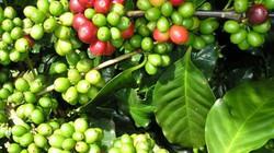 Giá nông sản hôm nay 3/3: Cà phê vừa tăng rực rỡ đã giảm, hồ tiêu chết 1 dân trồng lại 10?
